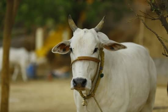 Cow Sacred Hinduism Symbols